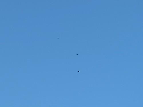 Gierzwaluwen boven Beek.