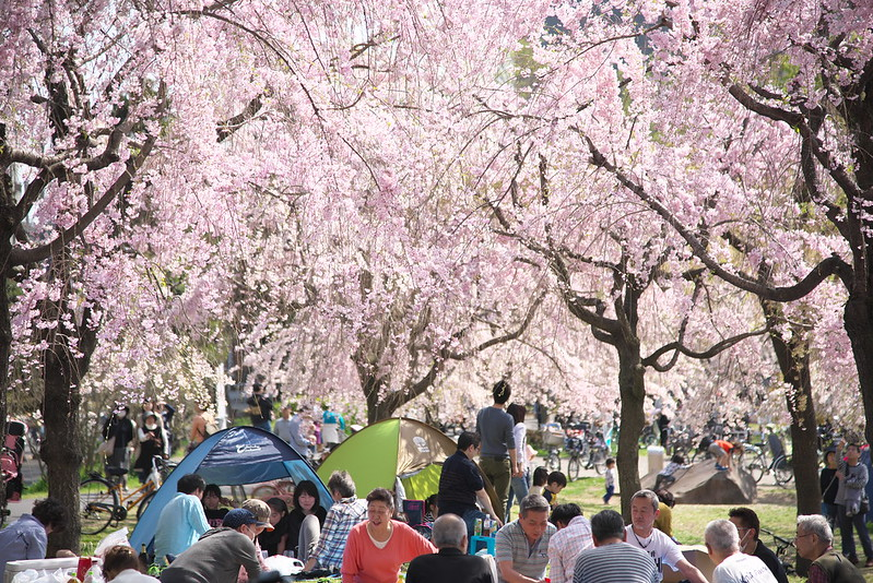 尾久の原公園の桜
