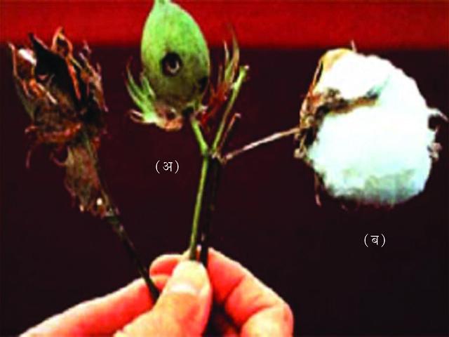 चित्र 12.1 कपास (अ) गोलक शलभ कृमि द्वारा नष्ट व (ब) पूर्णतया परिपक्व कपास गोलक