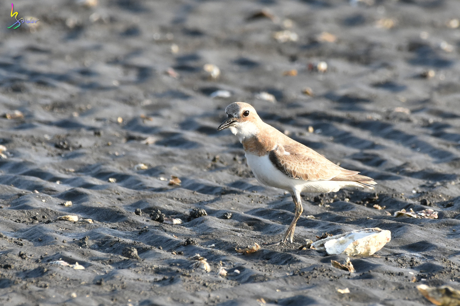 Greater_Sand_Plover_1827