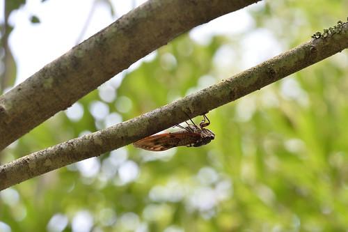 Graptopsaltria nigrofuscata