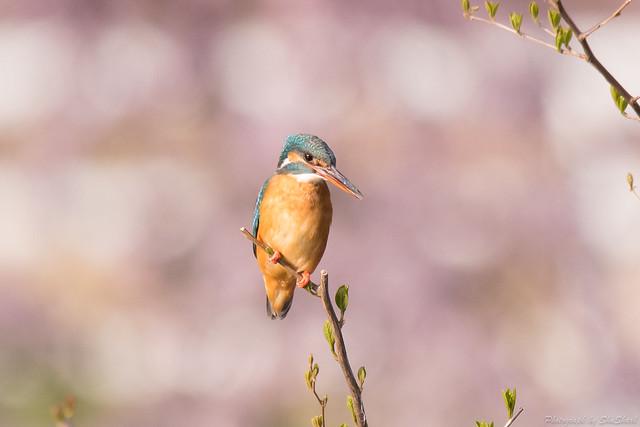 20180331-kingfisher-DSC_0705