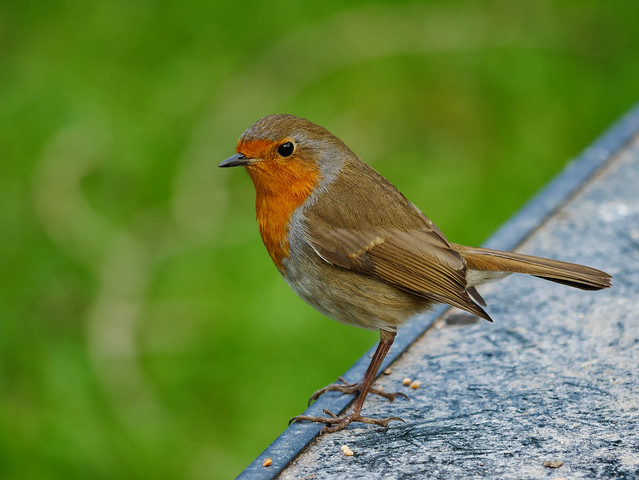 Sir. Robin, Panasonic DMC-G80, Lumix G Vario 100-300mm F4.0-5.6 Mega OIS