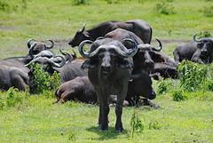Африканский буйвол, Syncerus caffer, African Buffalo