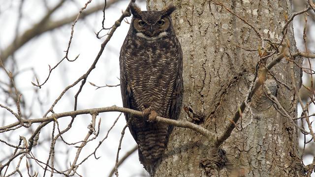 Great Horned Owl, Sony ILCA-99M2, Sony 500mm F4 G SSM (SAL500F40G)
