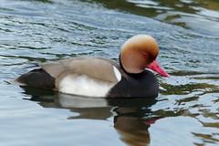 canard nette rousse lac de creteil Red-crested Pochard duck IMG_4513 (900x600)