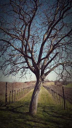 Baum und Wein
