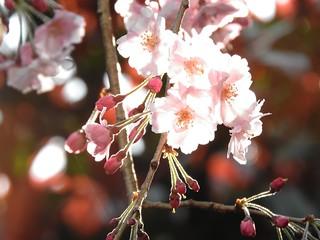 枝垂れ桜 3.28-4