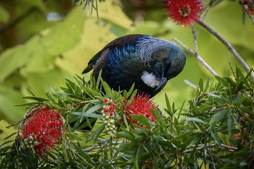Tui seeking nectar