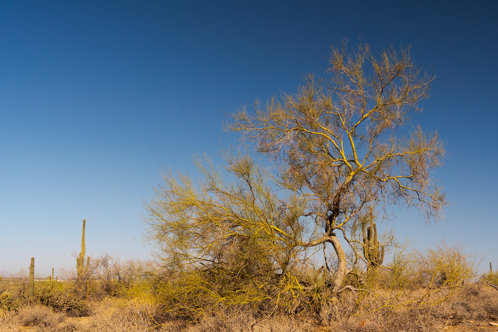 A foothill palo verde tree grows in front of saguaro cactus along the Gateway Loop Trail in the McDowell Sonoran Preserve in Scottsdale, Arizona