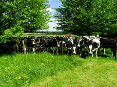 Vaches à Cartignies
