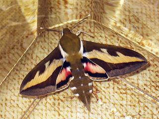 Hyles gallii - Bedstraw hawk-moth - Бражник подмаренниковый
