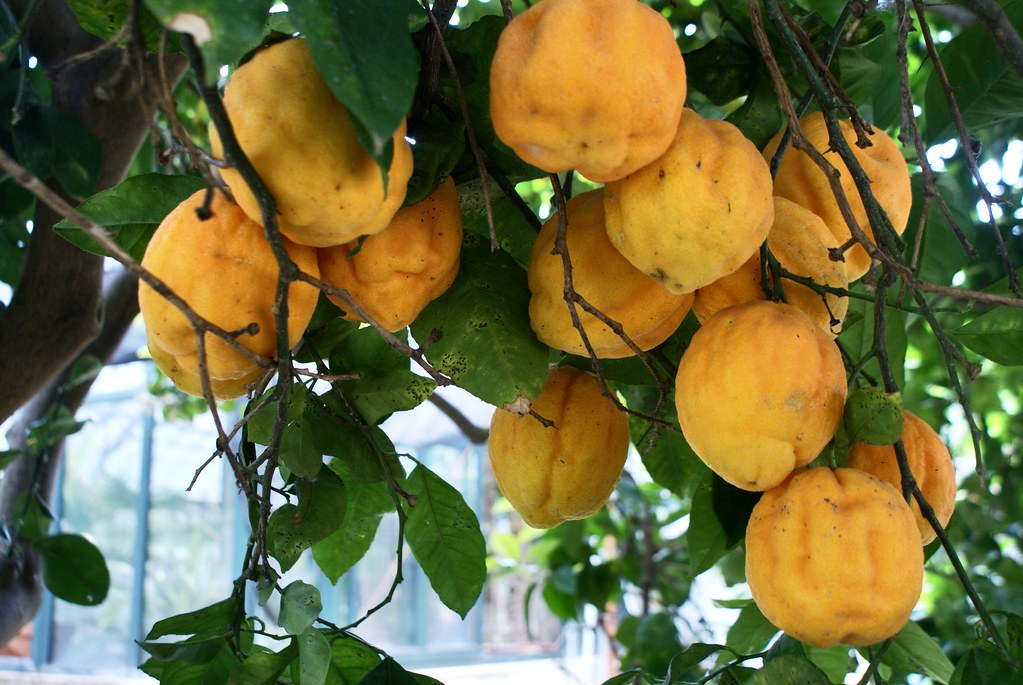 Les agrumes sont l'une des excellentes surprises du jardin botanique de Palerme en Sicile.