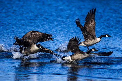 Canada goose aggression | by 1 other people