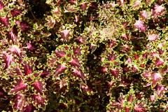 2 Caliman 180407 063 Orquidário Caliman planta folhas coloridas