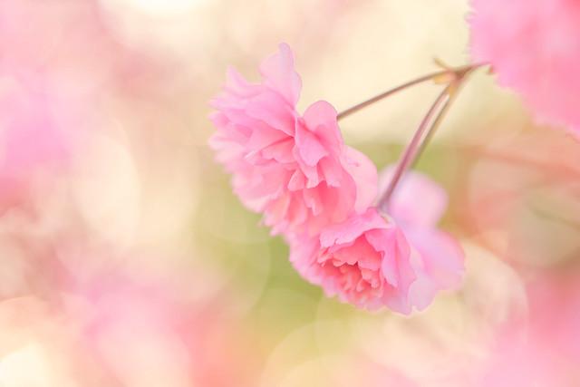 Cherry Blossom Dreaming!