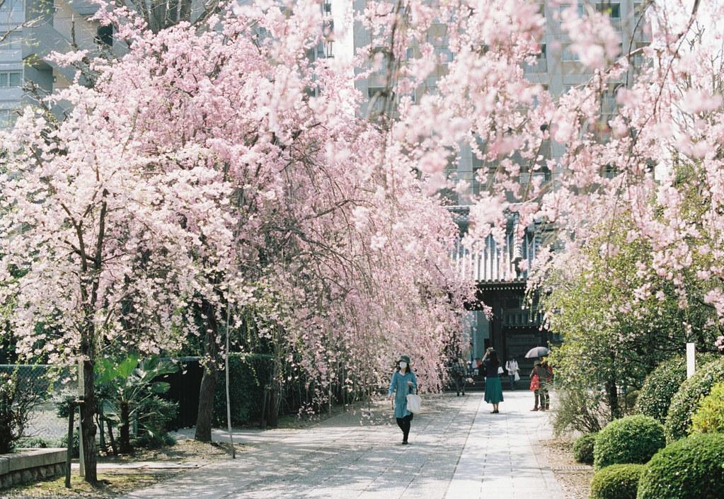 2018-03-30 お寺のしだれ桜 001