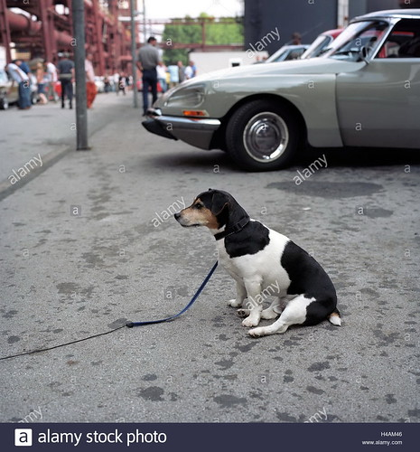 jack-russel-terrier-in-front-of-citroen-ds-vintage-car-rally-at-zeche-H4AM46