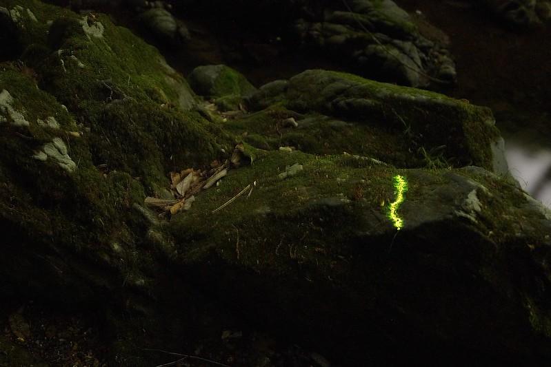20180502-Firefly_larvae-02