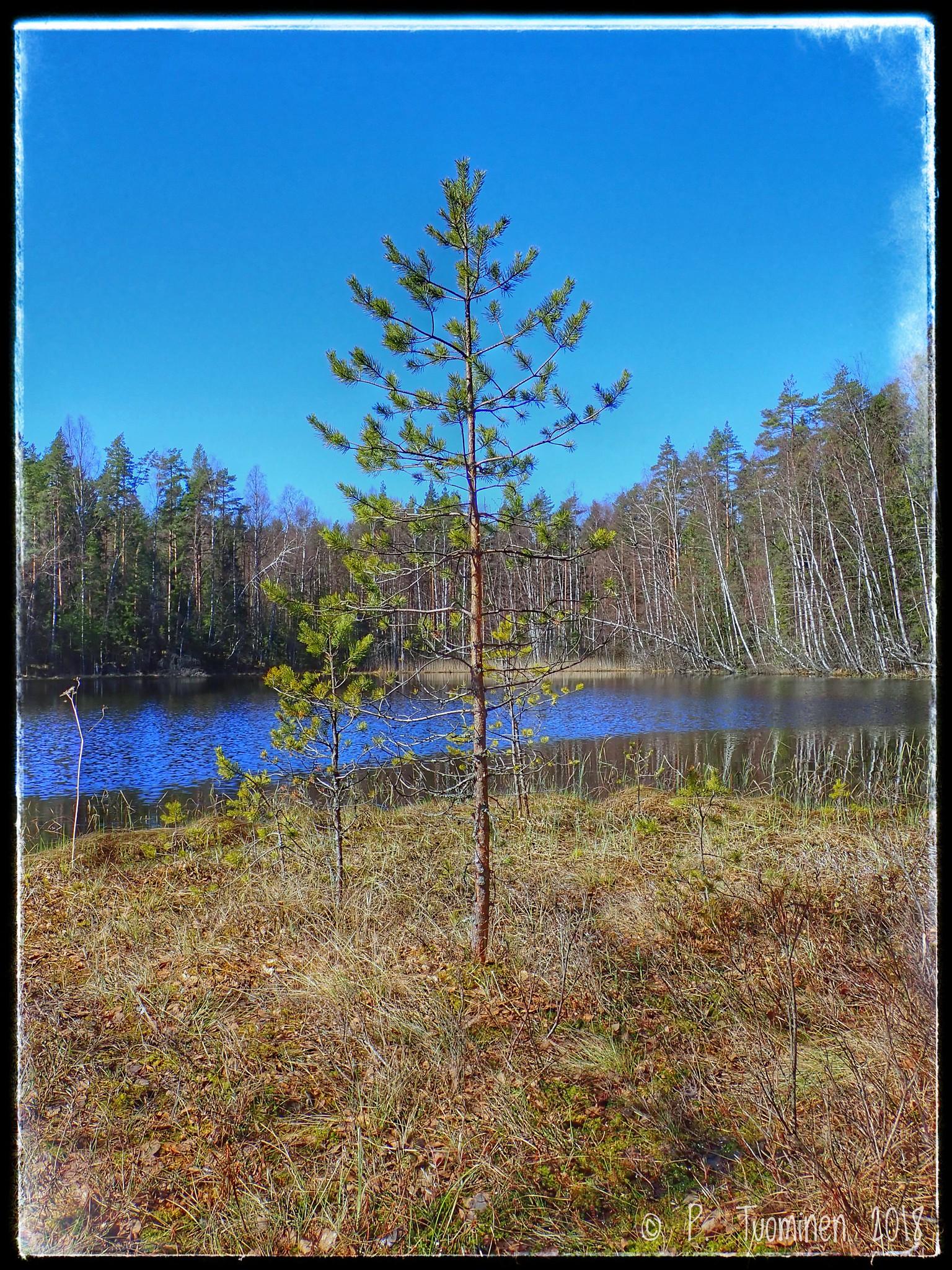 Pine on shore