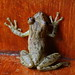 Small photo of Drab Tree Frog
