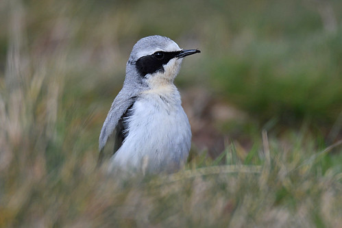 Northern wheatear // Chasco-cinzento