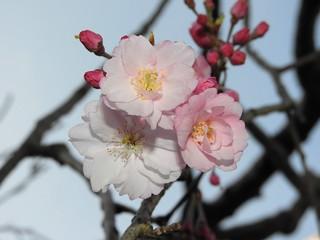 枝垂れ桜 3.26-2
