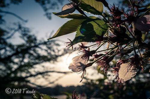 GR2作例:葉桜