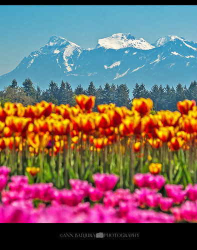 chilliwack britishcolumbia canada vancouver fraservalley tulips tulipfield tulipfestival tulipsofthevalley bc miss604 604now 24hrvancouver vancitybuzz colourfulvancouver insidevancouver spring westcoast colours photonewsgallery photography ctvphotos annbadjura georgiastraight pnw pacificnorthwest mountains scenery nature landscape