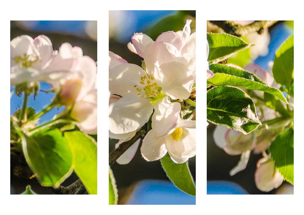 Apfelblüte_036_Trip