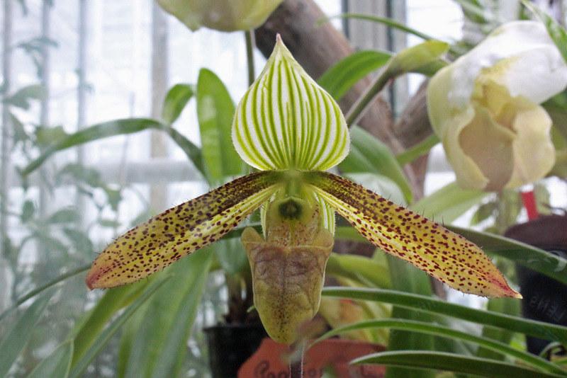 Paphiopedilum Wardii Summerh Botanischer Garten München Flickr