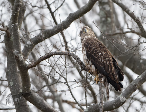 Juvenile Bald Eagle 4_8