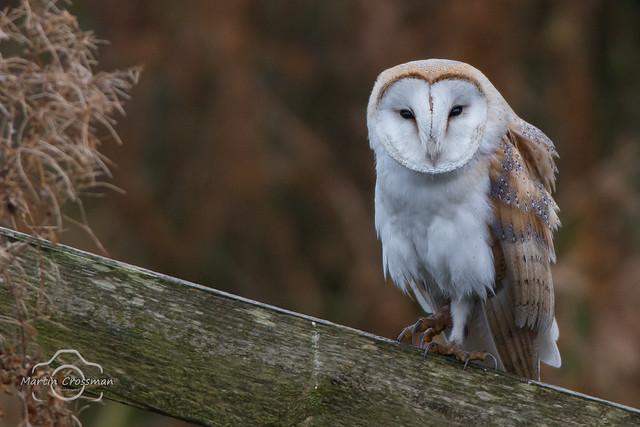 Barn owl, Nikon D7100, AF-S Nikkor 300mm f/4D IF-ED