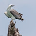 White Bellied Sea Eagle [explored]
