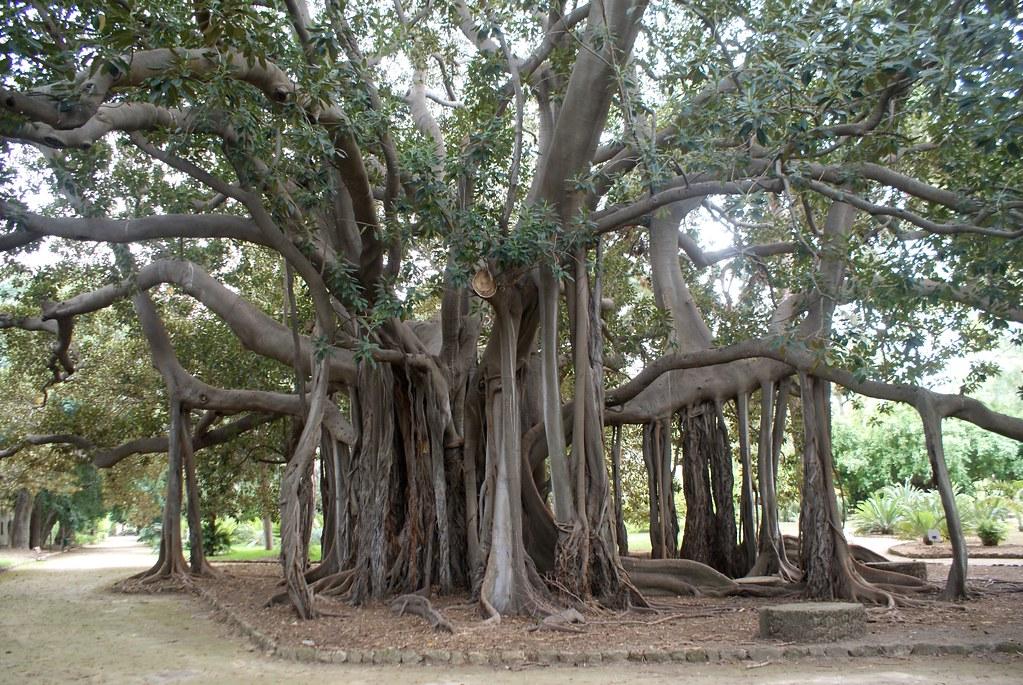 Figuier de la baie de Moreton ou Ficus macrophylla du jardin botanique de Palerme en Sicile.