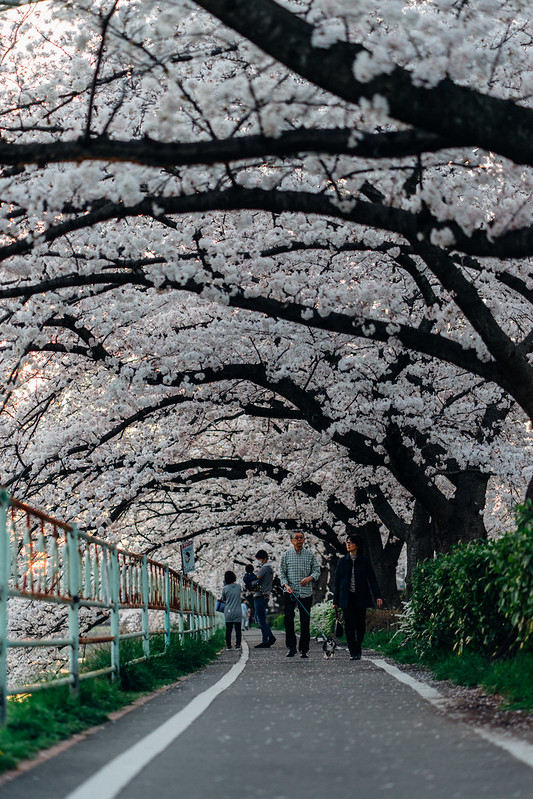 CherryBlossoms_47