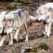 Europäisches Wolfsrudel - European Wolf Pack by vampire-carmen