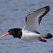 oystercatcher 7 2018 in flight