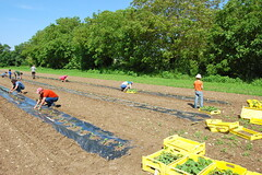 Plantation en cours