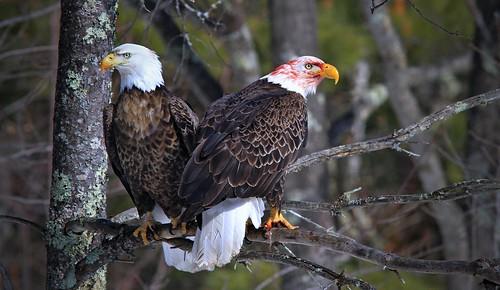 Bald Eagles Teal River Chequemagon N.F