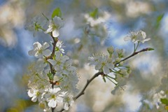 Blossomed cherry tree