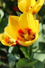 Tulip 2017