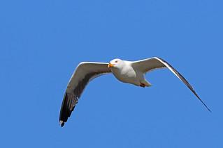 Lesser Black-backed Gull, Musselburgh, East Lothian, Scotland