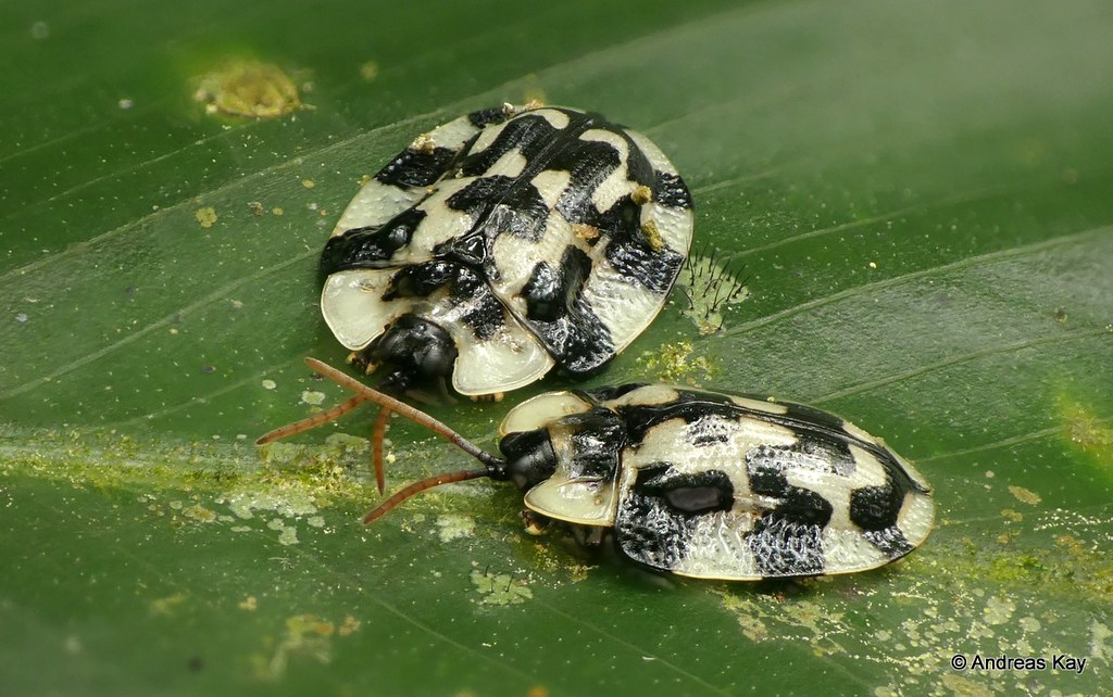 Tortoise beetles, Aslamidium capense, Cassidinae