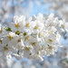 Cherry blossoms / 桜