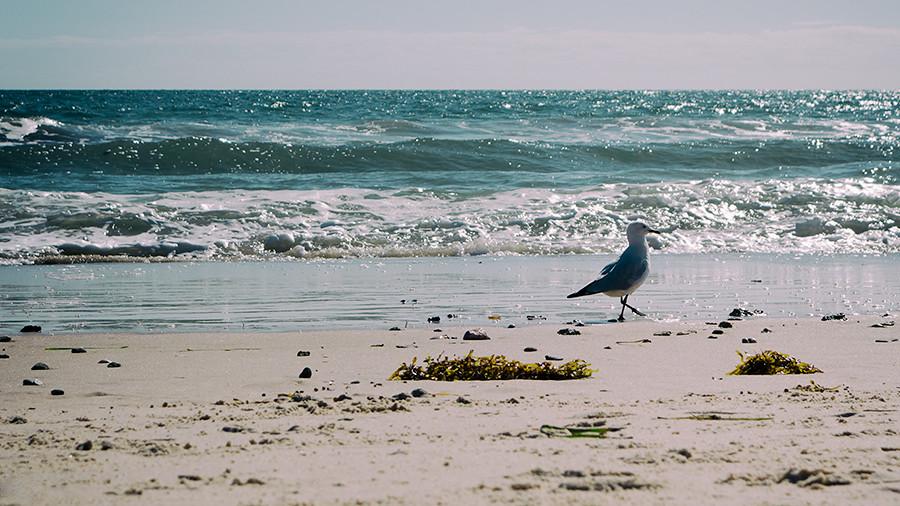 Shoreline seagull