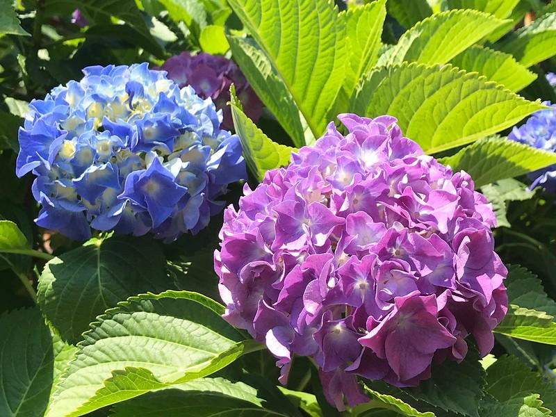 町屋駅前 バラと紫陽花