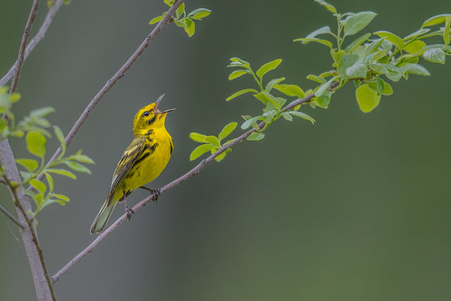 song songbird singing setophagadiscolor nature bird leaf wildlife warbler spring prairiewarbler migration perch southamptontownship newjersey unitedstates us