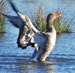 Greylag Goose - Druridge Ponds