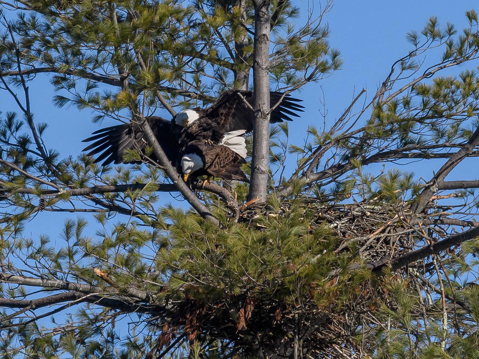 Bald Eagles mating